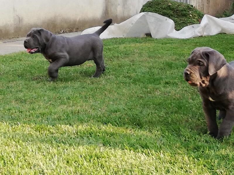 """cuccioli di cane corso allevamento """"dei Legionari"""""""